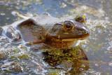 Bullfrog In The River 00504