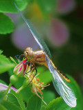 Dragonfly 00566