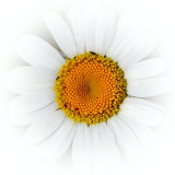 Dazzled Daisy 01686
