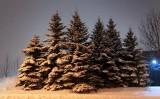 Snow-Laden Trees 11712-4