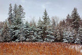 Snowy Pines & Cattails 20091216