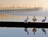 Perched Pelicans 4665-6