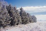 Frosty Pines 52692 Art