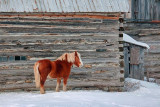 Horse Beside Log Barn 20100215