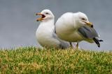 Two Gulls 20100407