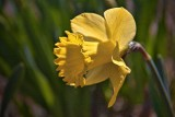 First Daffodil 15758
