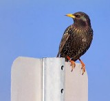 Starling On A Sign 52987