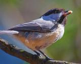 Chickadee With Seed 53087