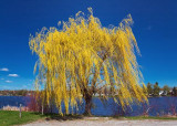 Spring Willow 15882