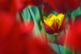 Yellow & Red Tulip 20100424