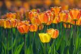 Orange Tulips 53223