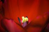 Red Tulip Stamen 53162