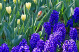 Tulips & Hyacinths 53176