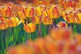 Orange Tulips 53220