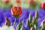 Red Tulip 53189