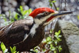 Woodpecker On The Ground 20100428