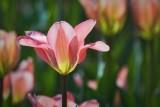 Pink Tulip 53203