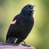 Red-winged Blackbird 53287