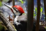 Woodpecker On The Ground 53382