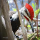 Rooting Woodpecker 53387