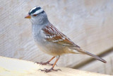 White-crowned Sparrow 20100501
