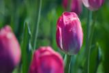 Pink Tulip 53517
