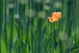 Lone Orange Tulip 53552