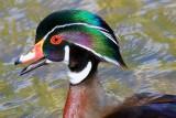 Wood Duck 53599