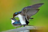 Frisky Swallows 20100512