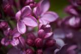 Lilac Closeup 53652