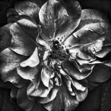 Wild Rose 20100529