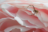 Spider On A Peony 20100611