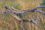 Dead Wood In Grass 71013