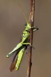 Green Grasshopper 71367