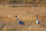 Sandhill Cranes 72571