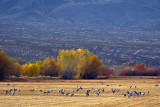 Field of Cranes 73058