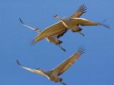 Sandhill Cranes 73205