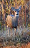 Curious Deer 73327