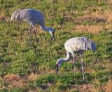 Grazing Cranes 73253