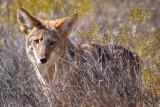 Desert Coyote 74436