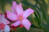 Desert Flower 74274