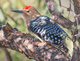 Gila Woodpecker 74395