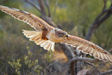 Ferruginous Hawk 74767