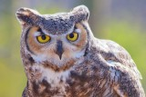 Great Horned Owl 75097