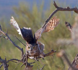 Horned Owl Takeoff 75060