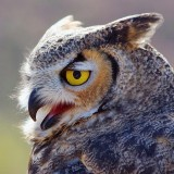 Great Horned Owl Closeup 75080