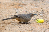 Curve-billed Thrasher 75344