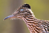 Roadrunner Closeup 74673