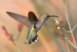 Hummingbird 20071204