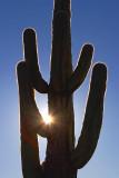 Sun & Saguaro Cactus 75616